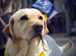 A Guide Dog's honest look - flickr.com