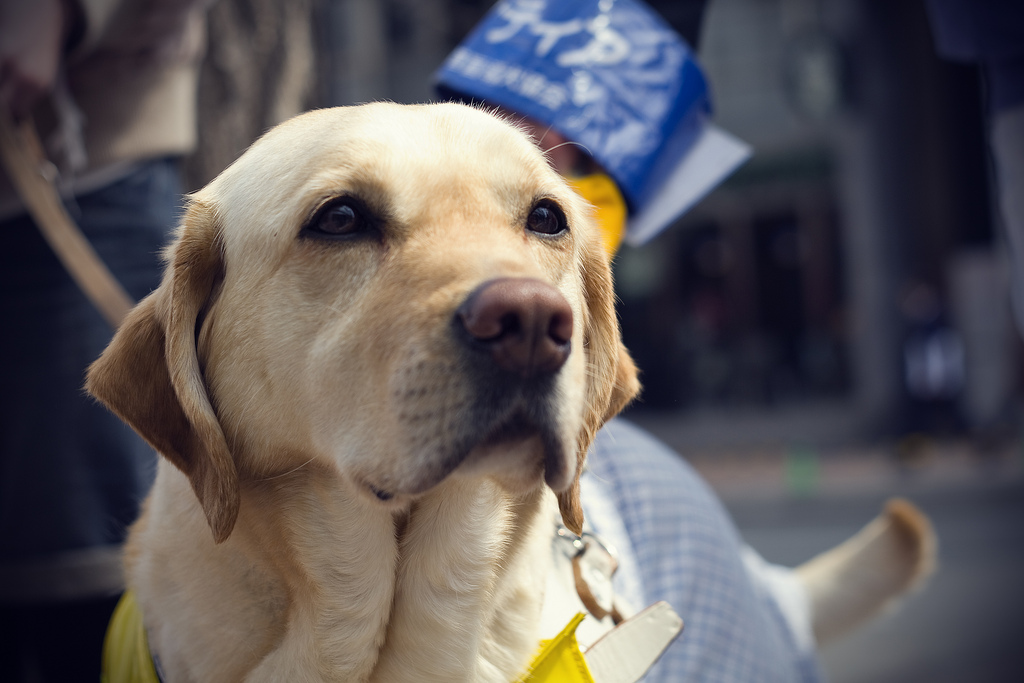 A Guide Dog's honest look - flickr.com