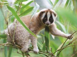 Many Primates at Risk of Extinction, Durham University Academic Says