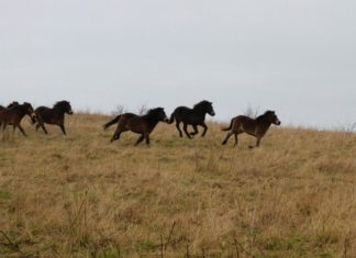 Rare Exmoor Ponies Set up Home in County Durham